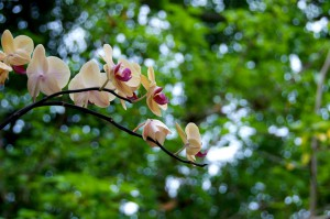 Picture of a beautiful pink orchid at Vizcaya Museum and Gardens in Miami, Florida.